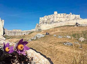 The Spišsky Hrad (Spiš Castle)  in the background with some rare flowers of the Spiš region.