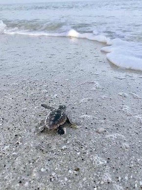 Almost there! A Loggerhead hatchling heads for the water. Photo by Kristin Foglio